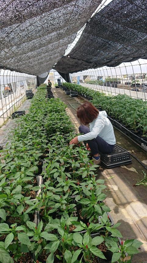 農場でのポット苗生産!!