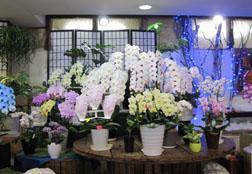 胡蝶蘭は常時10種類以上あります